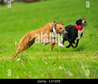 simulated coursing greyhounds - Stock Photo