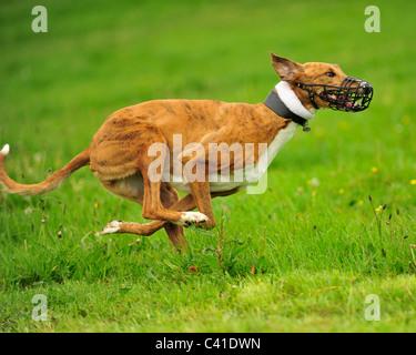 racing greyhound - Stock Photo