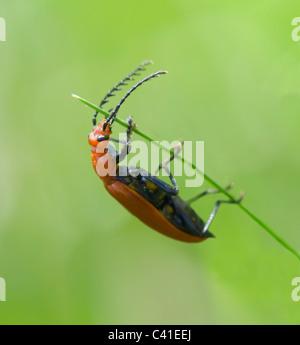 Red-headed Cardinal Beetle (Pyrochroa serraticornis), Hampshire, UK - Stock Photo