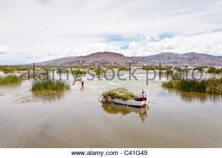 People gathering Totora reeds for use as building materials for homes and boats. Uros Floating Islands, Lake Titicaca, - Stock Photo