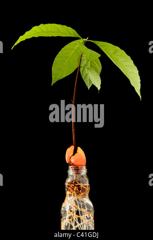 Avocado plant growing in water against black background - Stock Photo