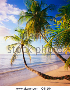 Beach at Pigeon Point with coconut palms [cocos nucifera] Island of Tobago - Stock Photo