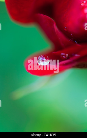 Raindrop on red rose petals against a green background