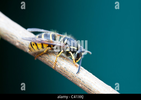 Common Wasp Vespula vulgaris adult female queen at rest on a twig - Stock Photo