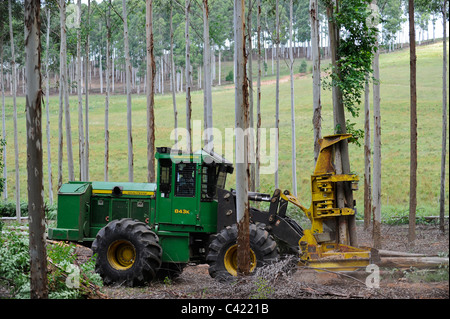 URUGUAY Rivera , FSC eucalyptus grande forest of company Urufor for timber , pulp and biomass use,harvest with timber - Stock Photo