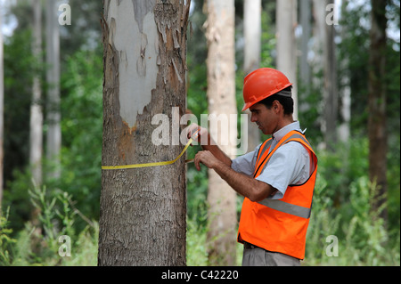 URUGUAY Rivera , FSC eucalyptus grande forest of company Urufor for timber , for pulp and biomass use, forest worker - Stock Photo