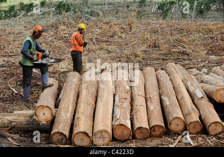 URUGUAY Rivera , FSC eucalyptus grande forest of company Urufor for timber , pulp and biomass use, lumberman lumberjack - Stock Photo