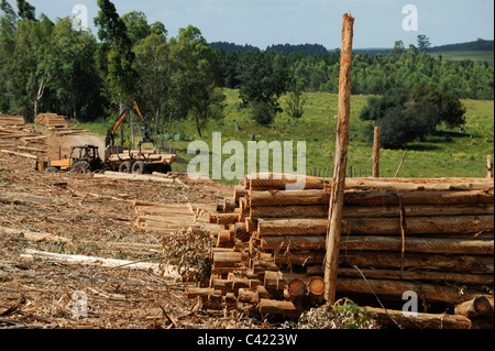 URUGUAY Rivera , FSC eucalyptus grande forest of company Urufor for timber , pulp and biomass use - Stock Photo