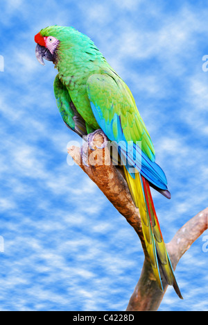 Closeup military macaw (Ara militaris) on a perch on a background of cloudy blue sky - Stock Photo