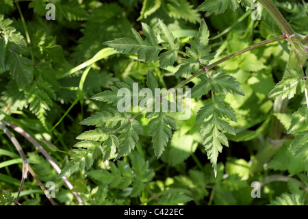 Cow Parsley Leaf, aka Wild Chervil, Wild Beaked Parsley and Keck, Anthriscus sylvestris, Apiaceae. - Stock Photo