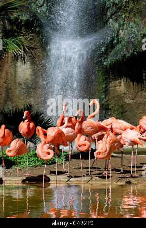 Group of Carribean flamingos (Phoenicopterus ruber) with a waterfall in the background - Stock Photo