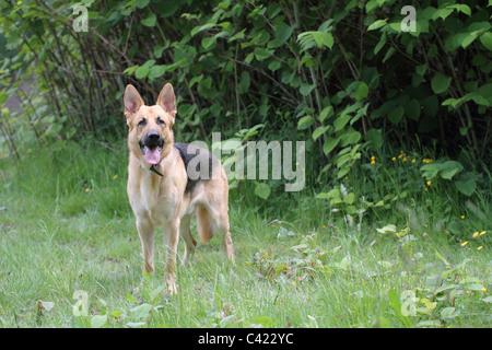 german shepherd dog  Alsatian - Stock Photo