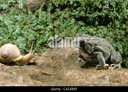 Fowler's toad spies a snail walking towards him in the garden - Stock Photo