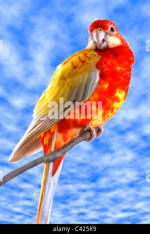 Eastern Rosella (Platycercus eximius) on perch on cloudy blue sky background - Stock Photo