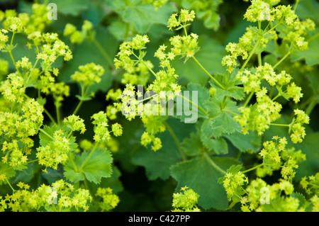 Flowers of the Alchemilla Mollis ( Lady's Mantle ). UK - Stock Photo