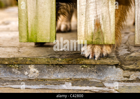 German Shepherd dog waiting by gate with paw poking through taken in Mellon Udrigle, Wester Ross, Scotland, uk - Stock Photo