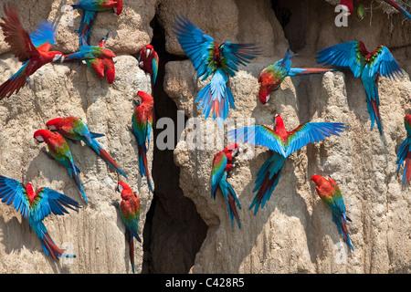 Manu National Park, Red and Green Macaws ( Ara chloroptera ) ingesting clay from Tambo Blanquillo clay lick. - Stock Photo