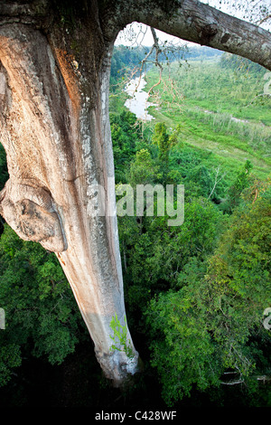 Manu National Park, View from canopy platform ( 40m high ) on Kapok tree ( Ceiba pentandra ). - Stock Photo