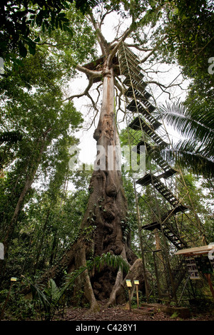 Manu National Park, View on canopy platform ( 40m high ) in Kapok tree ( Ceiba pentandra ). - Stock Photo
