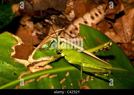 Peru, Boca Manu, Blanquillo, Manu National Park, UNESCO World Heritage Site. Grasshopper. - Stock Photo