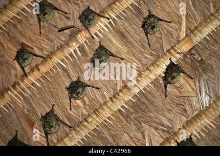 Peru, Boca Manu, Blanquillo, Manu National Park, UNESCO World Heritage Site. Bats. - Stock Photo