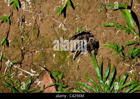 Peru, Boca Manu, Blanquillo, Manu National Park, UNESCO World Heritage Site. Tarantula spider coming out of his - Stock Photo