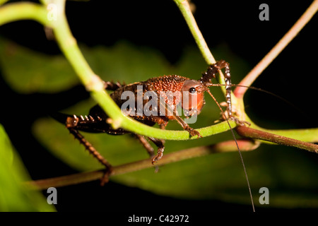 Peru, Boca Manu, Blanquillo, Manu National Park, UNESCO World Heritage Site. Katydid. - Stock Photo