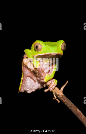 Peru, Boca Manu, Blanquillo, Manu National Park, UNESCO World Heritage Site. Leaf frog. - Stock Photo