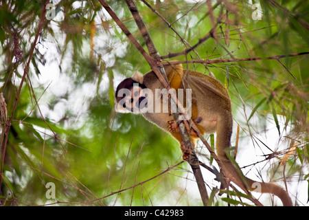 Peru, Boca Manu, Blanquillo, Manu National Park, UNESCO World Heritage Site, Common Squirrel Monkey ( Saimiri sciureus - Stock Photo
