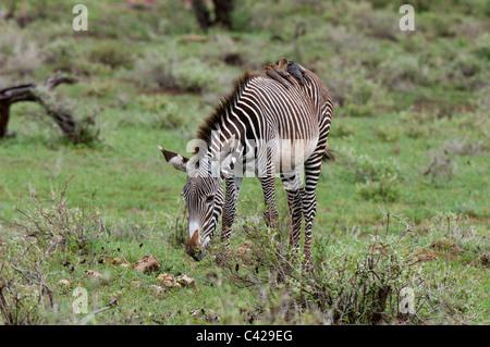 Grevy's Zebra (Equus grevyi), Samburu National Park, Kenya. - Stock Photo