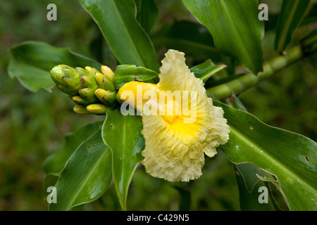 Peru, Boca Manu, Manu National Park, Manu Wildlife Centre, Flower in garden. - Stock Photo