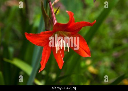 Peru, Boca Manu, Manu National Park, Manu Wildlife Centre, Flower in garden. - Stock Photo
