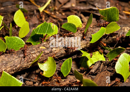 Peru, Cruz de Mayo, Manu National Park, Pantiacolla mountains. Leaf cutter ants transporting leaves and fellow ants. - Stock Photo
