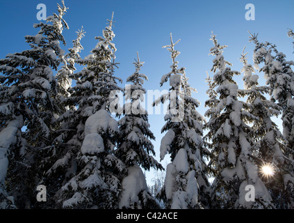 Young spruce ( picea abies ) trees at Winter , Finland - Stock Photo