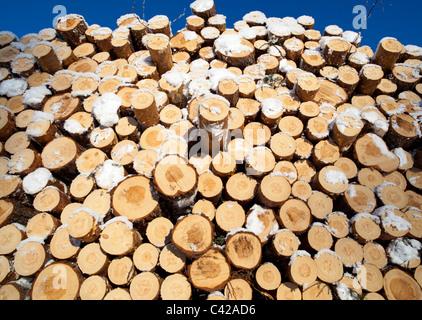 Pile of freshly cut pine ( pinus sylvestris ) logs - Stock Photo