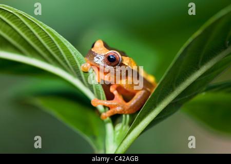 Manu National Park, Pantiacolla mountains. Clown Tree Frog ( Dendropsophus leucophyllatus, formerly Hyla leucophyllata - Stock Photo