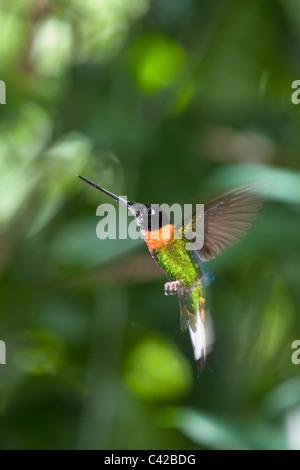 Peru, Aguas Calientes, Machu Picchu, Inkaterra Machu Picchu Pueblo Hotel. Garden. Hummingbird. - Stock Photo