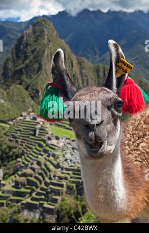 Peru, Aguas Calientes, Machu Picchu.15th-century Inca site located 2,430 metres (7,970 ft) above sea level. Llama. - Stock Photo