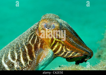 Cuttlefish (Sepia officinalis) underwater - Stock Photo