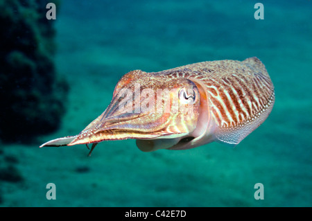 Cuttlefish (Sepia officinalis) swimming underwater - Stock Photo