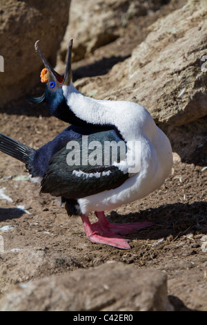 Mating display from a South Georgian blue-eyed shag, New Island, West Falklands - Stock Photo