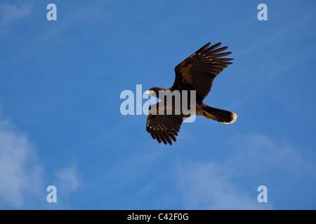 Striated Caracara in flight, New Island, West Falklands - Stock Photo