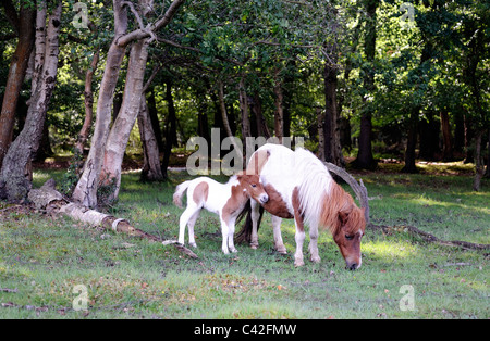 A dwarf miniature pony with an even smaller foal - Stock Photo