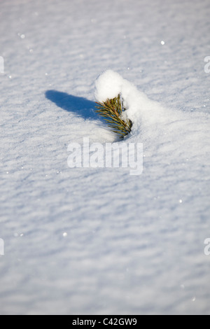 Small pine ( pinus sylvestris ) sapling half buried into fresh new snow - Stock Photo