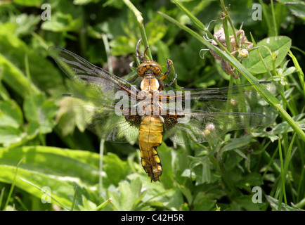 Female Broad-bodied Chaser Dragonfly, Libellula depressa, Libellulidae. Drying Her Wings on Emerging from Her Larval - Stock Photo