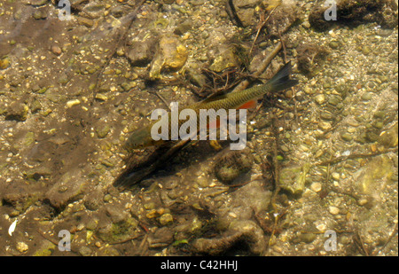 Common Rudd, Scardinius erythrophthalmus, Cyprinidae, Cypriniformes, Chordata. Swimming in the River Chess, Hertfordshire. - Stock Photo