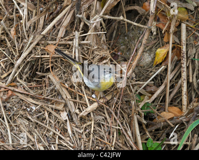Grey Wagtail, Motacilla cinerea - Stock Photo