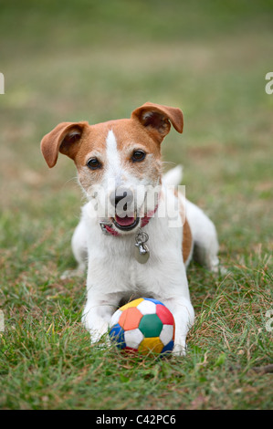 Parson Jack Russell Terrier playing with a ball on the grass - Stock Photo