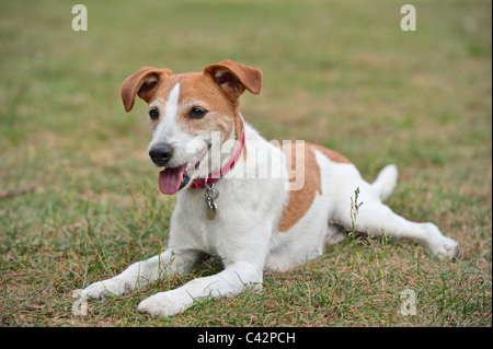 Parson Jack Russell Terrier resting on the grass - Stock Photo