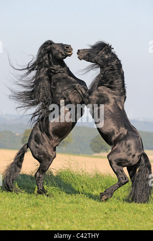 Friesian Horse (Equus ferus caballus), stallions fighting. Germany. - Stock Photo